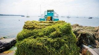 Léman: savez-vous ce que deviennent les plantes aquatiques faucardées?