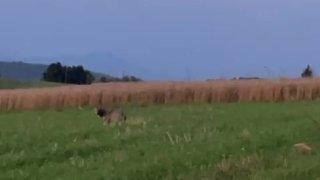 Mollens: «Le loup était à trois mètres de moi!»