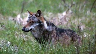 Les Grisons veulent abattre au moins un loup