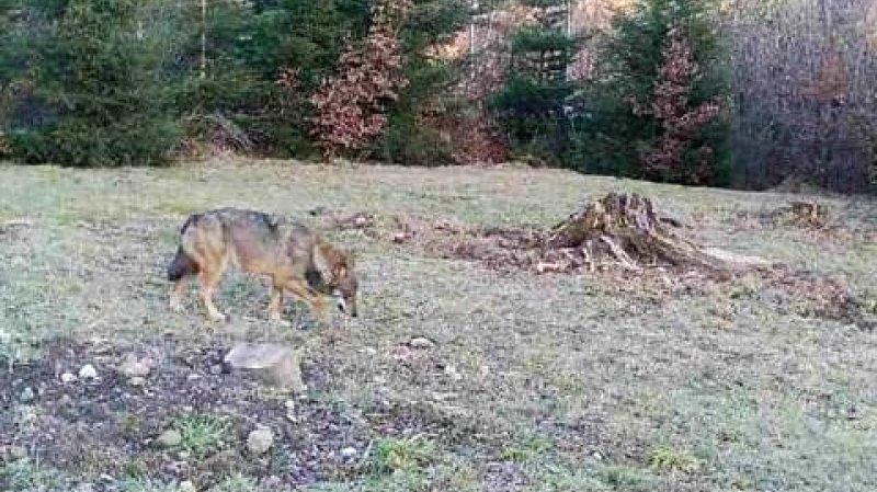 Demande de tir rejetée: l'OFEV sauve deux jeunes loups de la meute de Stagias