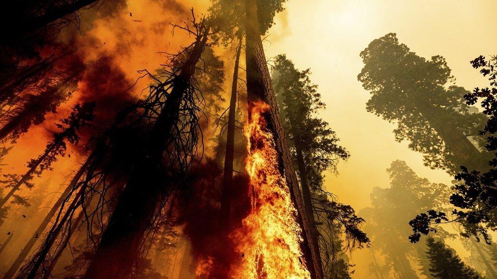 Des séquoias uniques cernés par les flammes en Californie