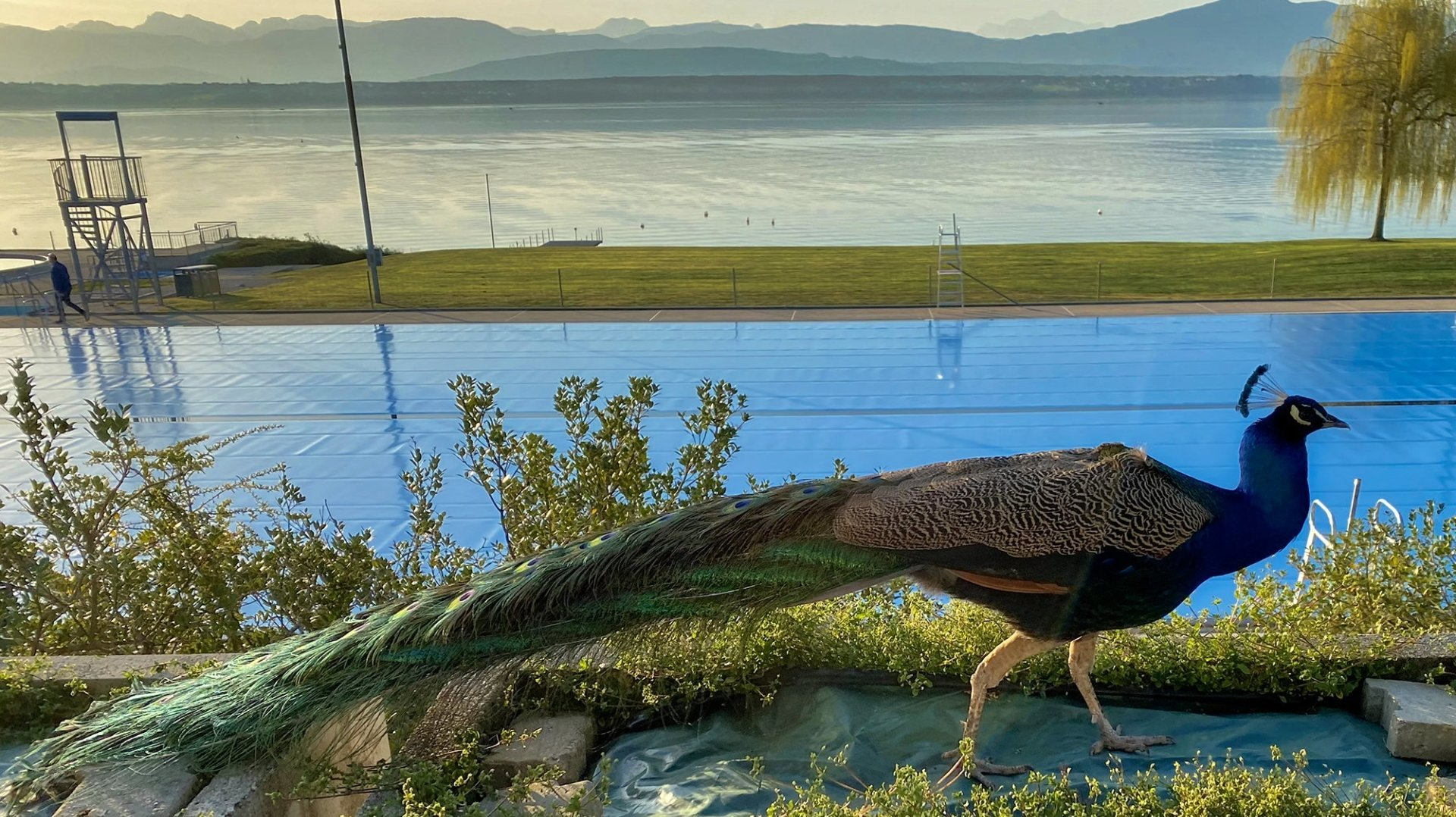 """""""Léon"""" le paon avait pris ses quartiers à la piscine depuis des années."""