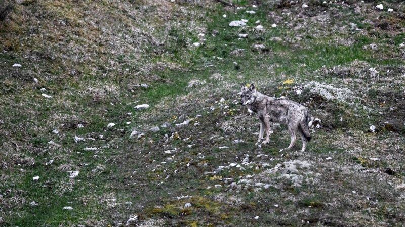 Vaud: les élus veulent une meilleure régulation du loup