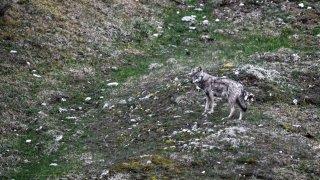 Vaud: la Confédération autorise le tir de deux loups au Marchairuz