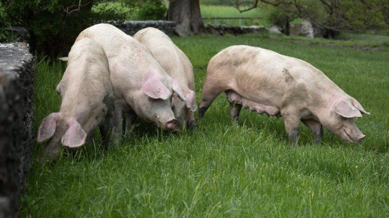 La Confédération se prépare face à la peste porcine