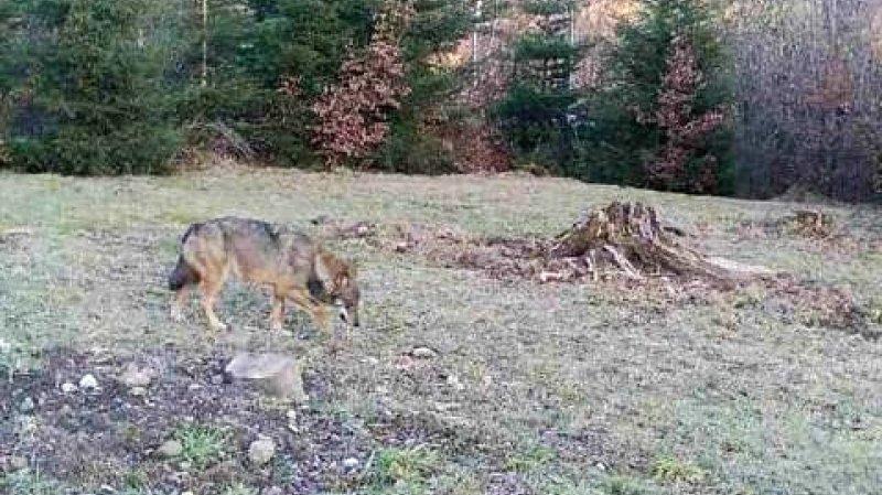 Chasse: nouvelle réglementation pour les loups sur la table