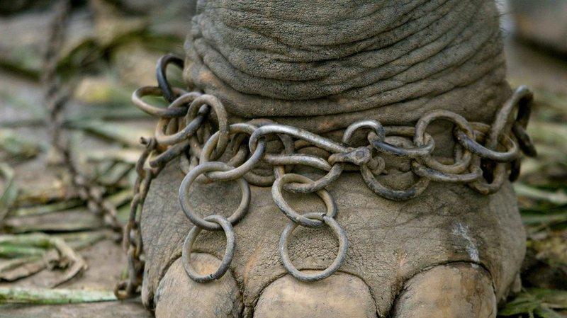 Zimbabwe: un éléphant pour balader les touristes piétine à mort son dresseur