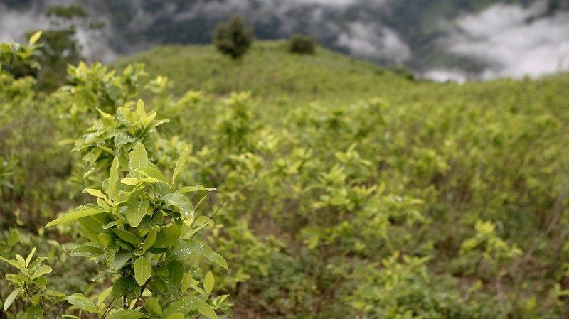 Les cultures de coca sont passées de 96'000 hectares en 2015 à 146'000 en 2016.