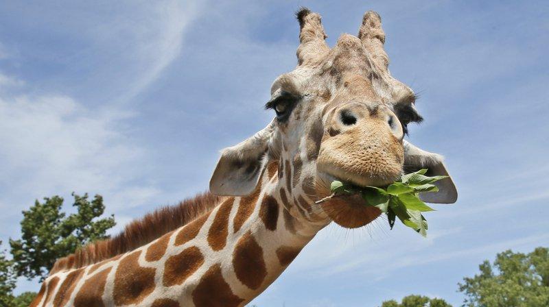 """""""Plusieurs espèces d'animaux qui étaient relativement en sécurité il y a dix ou vingt ans"""", comme les lions et les girafes, """"sont désormais en danger"""", selon une étude."""