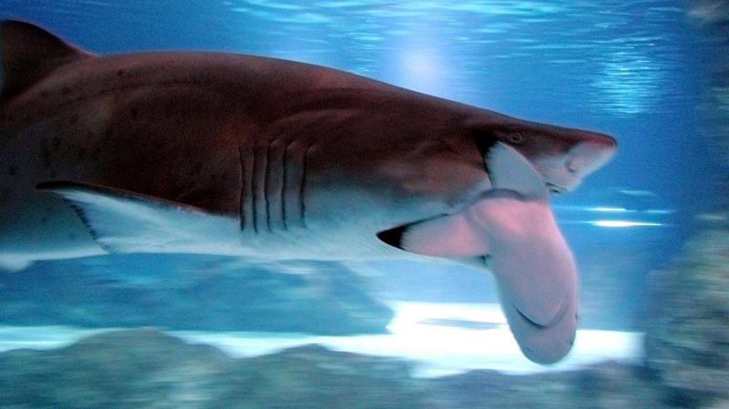 Règne animal: les requins se servent de leurs épaules pour manger