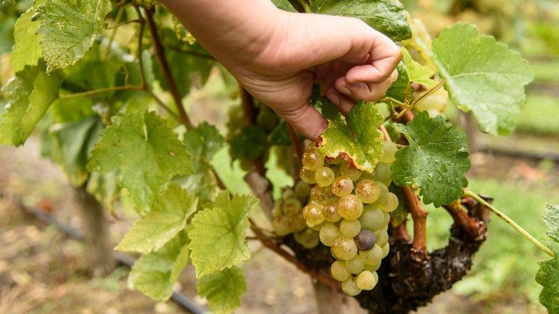 Après le gel du printemps, les vignobles de La Côte s'en sortent bien