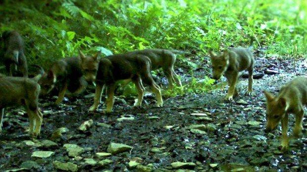 Deux jeunes loups de la meute «problématique» abattus dans les Grisons
