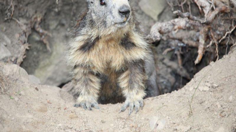 Zoo de la Garenne: des marmottes ont rejoint les bouquetins