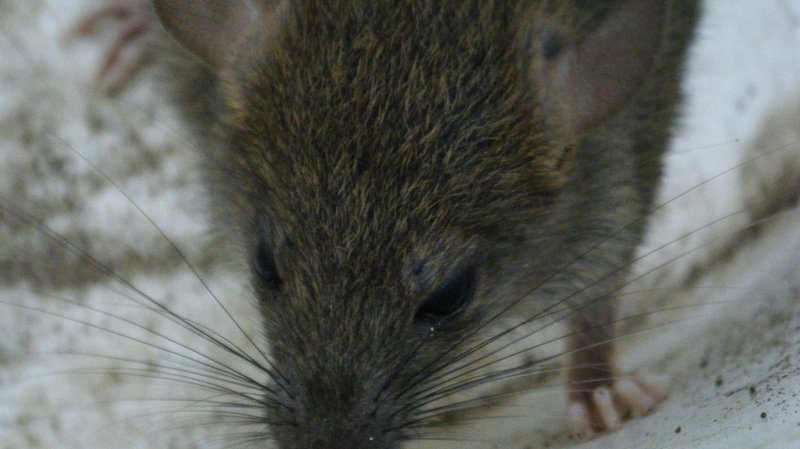 Etats-Unis: New York veut affamer les rats pour s'en débarrasser