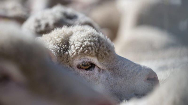 Obwald: au moins 9 moutons tués sur un alpage, vraisemblablement par un loup
