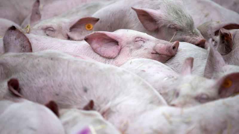 Science: des scientifiques modifient génétiquement des porcs pour le don d'organes
