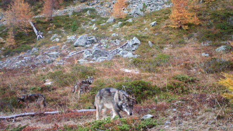 Le Conseil fédéral veut que le loup soit moins protégé en Suisse