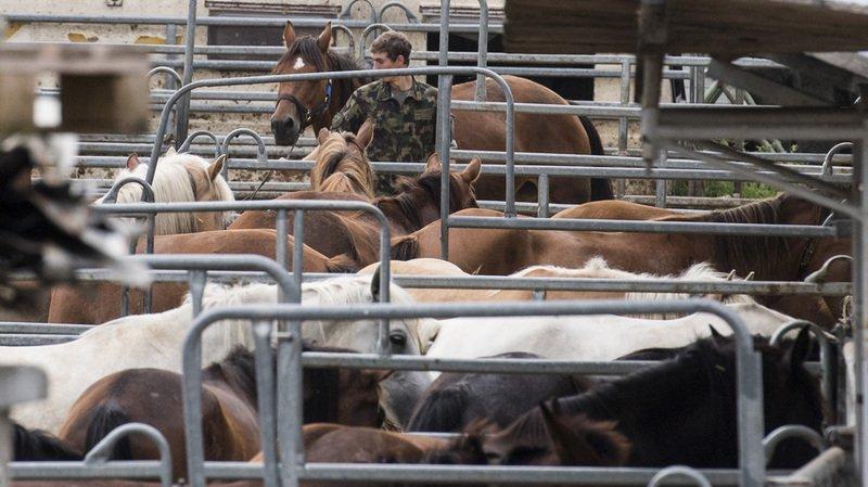 Chevaux maltraités en Thurgovie: plainte déposée contre le vétérinaire cantonal