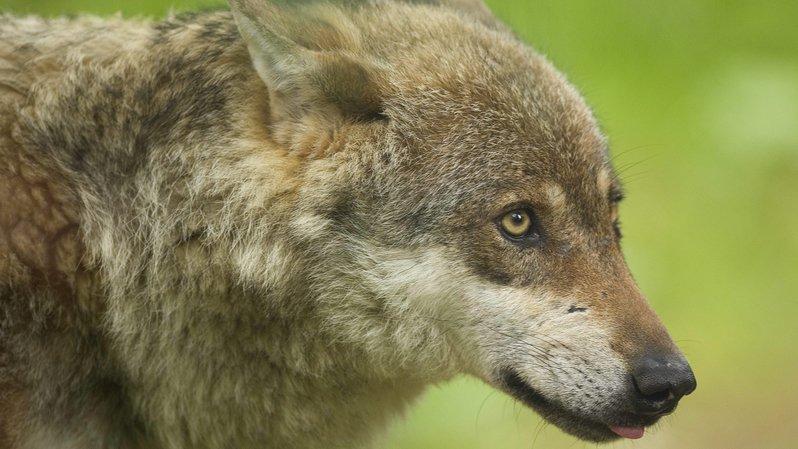 France: deux loups ont été abattus en Savoie