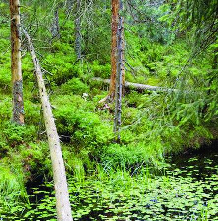 Environ 32 000 étangs et mares sont recensés en Suisse–ici l'étang de la Gruère dans les Franches-Montagnes.