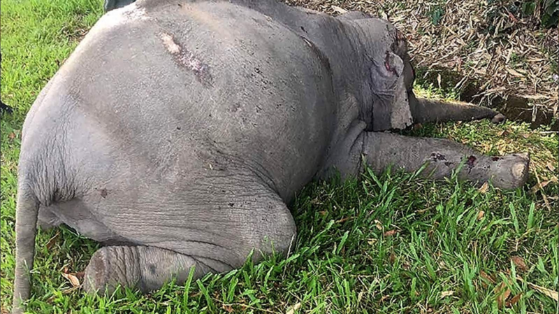 Malaisie: un éléphant sauvage tué par un car de touristes