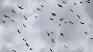 Une soixantaine de cigognes survolent Nyon