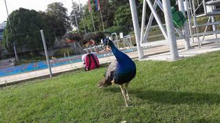 Un paon à la piscine de Colovray