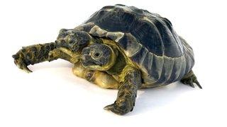 Janus, la tortue à deux têtes du musée d'histoire naturelle de Genève, fête ses 20 ans