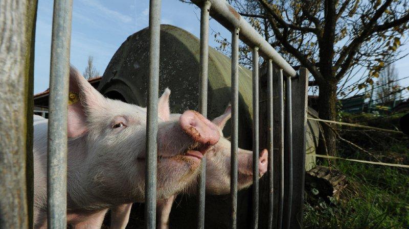Protection des animaux: les conditions d'élevage de porcs régressent en Suisse