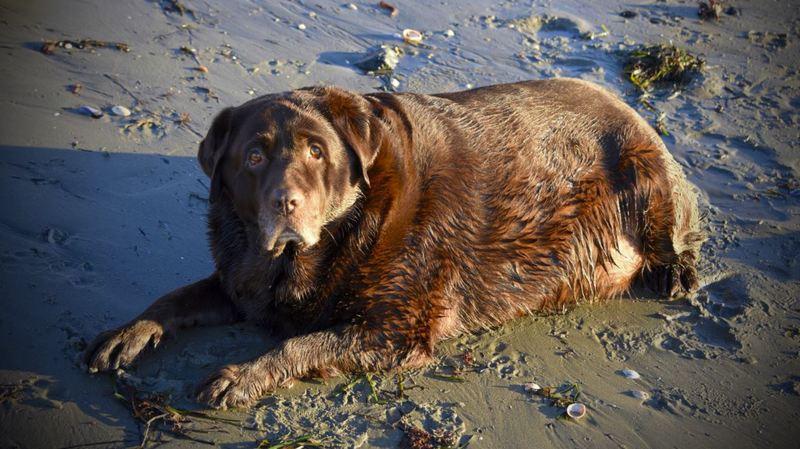 Shiloh est une femelle labrador victime d'obésité.
