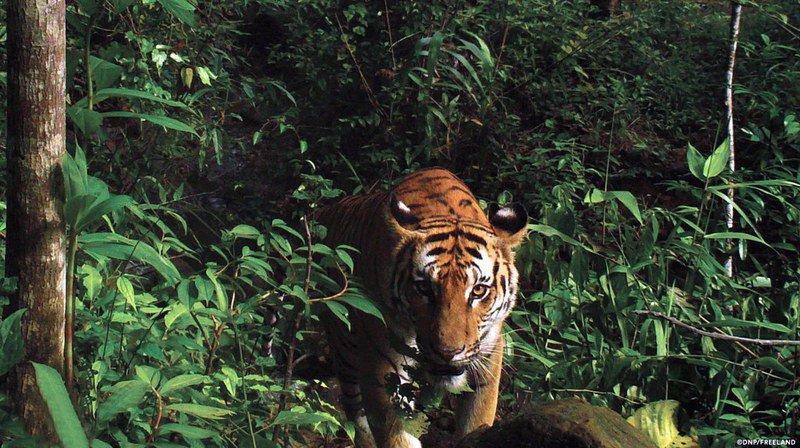 Kazakhstan: le tigre sauvage pourrait revenir 70 ans après sa disparition