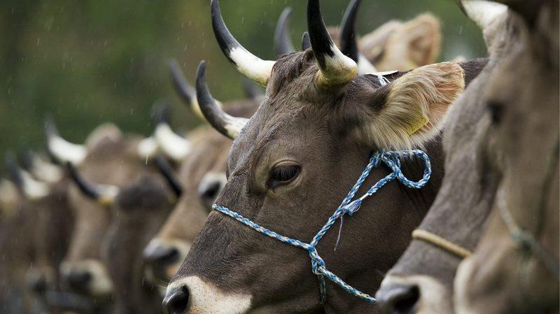 Bétail: les Etats ne veulent pas d'une subvention pour les vaches qui gardent leurs cornes