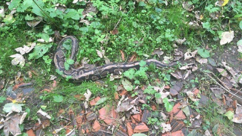 La police pense que quelqu'un a abandonné le python illégalement dans la forêt de la montagne de Zurzach.
