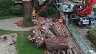 Un séquoia géant qui menaçait de s'effondrer a été abattu à Nyon