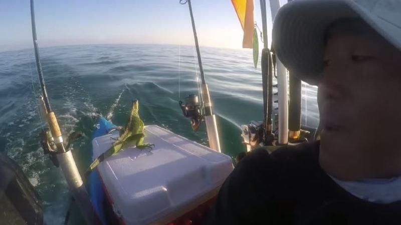 En plein océan, il tombe nez-à-nez avec un iguane égaré et lui porte secours