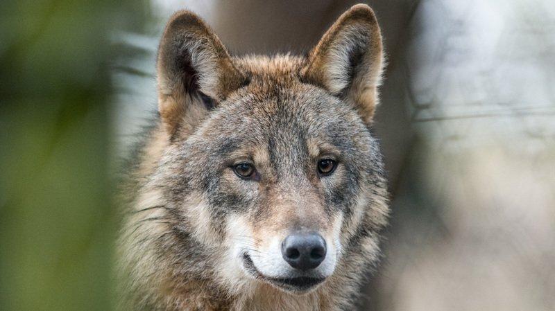 Le loup fait beaucoup parler en Suisse. Mais connaissez-vous son histoire?