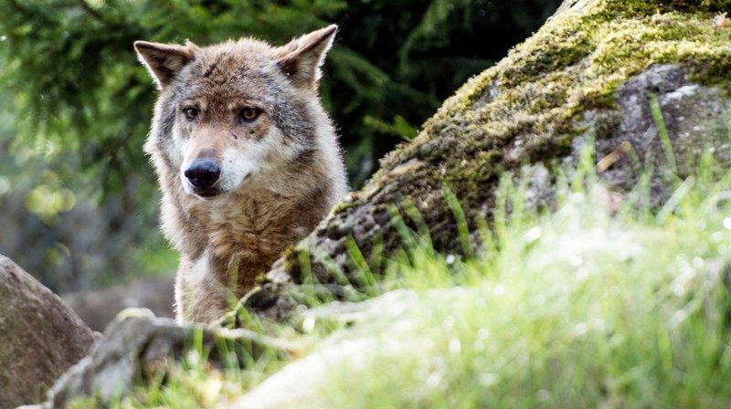Régulation des espèces protégées: le loup pourrait être plus facilement abattu