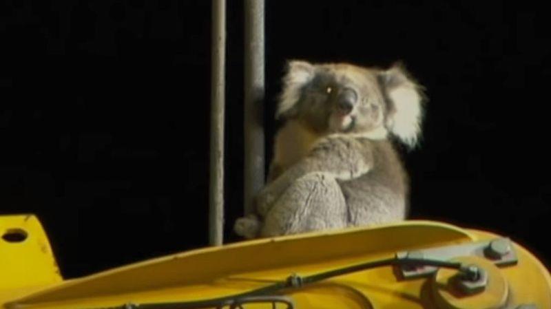 Sauvetage insolite d'un koala en Australie
