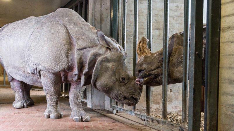 Une femelle rhinocéros quitte le zoo de Bâle