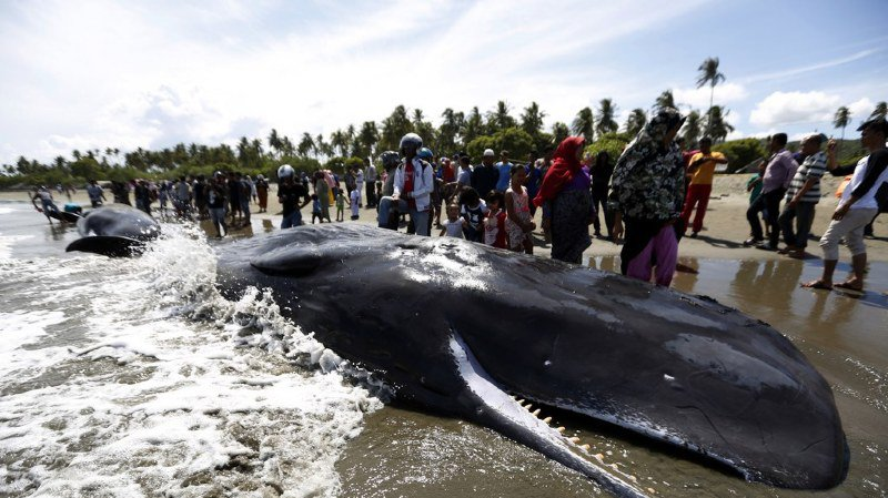 Indonésie: quatre cachalots meurent après s'être échoués sur une plage