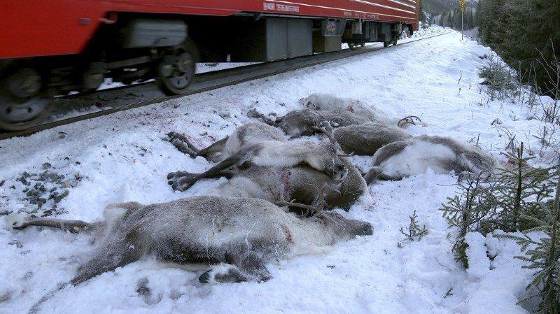 Norvège: une centaine de rennes mortellement fauchés par des trains