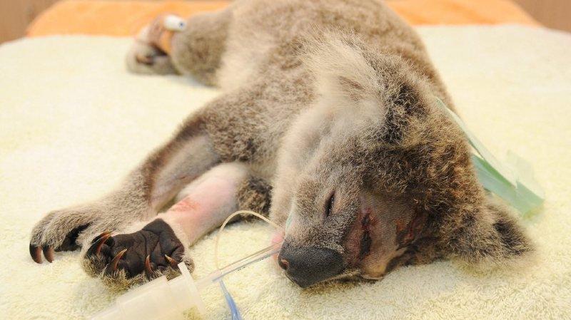 Le koala est de plus en plus menacé dans toute l'Australie, victime de la perte de son habitat, des maladies, des attaques de chiens et des feux de brousse.