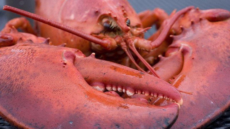 Protection des animaux: en Suisse, les homards ne seront plus ébouillantés vivants