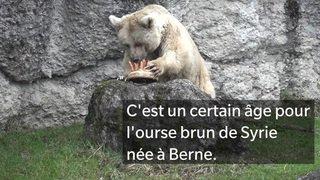 Fränzi, l'ourse brun du parc animalier de Goldau (SZ), fête ses 35 ans