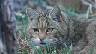 Le chat sauvage revient en catimini