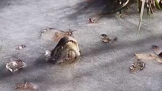 Images incroyables d'alligators pris dans la glace en Caroline du Nord