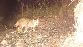 L'insaisissable chat sylvestre sort du bois