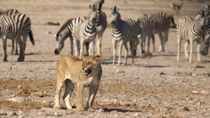 Les statistiques sont plutôt dures avec les lions, qui rentrent deux fois sur trois bredouilles.