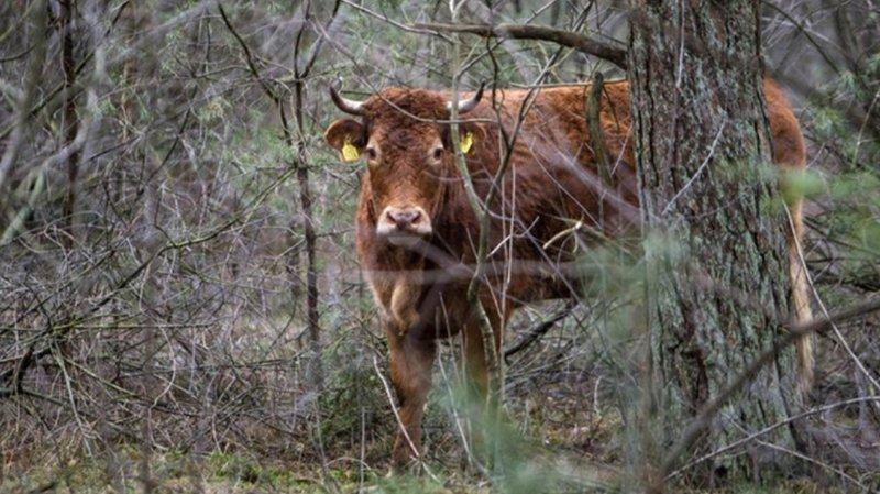 Pays-Bas: une vache refuse d'aller à l'abattoir et devient une vedette