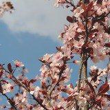 Plantation didactique de trois cerisiers